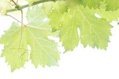 As gotas da chuva na uva deixam a luz solar no fundo branco Imagem de Stock