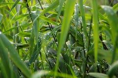 As gotas da manhã orvalham nas folhas do junco Foto de Stock Royalty Free