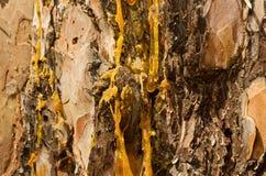 As gotas da resina fluem para baixo na casca do pinheiro Imagem de Stock Royalty Free