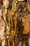 As gotas da resina fluem para baixo na casca do pinheiro Fotografia de Stock Royalty Free