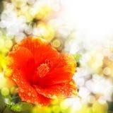 As gotas de água e o bokeh em um hibiscus florescem imagem de stock