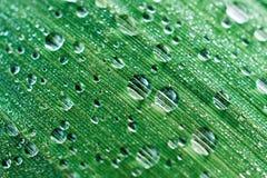 As gotas do orvalho em um pântano da folha cobrem Foto de Stock
