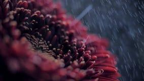 As gotas macro da água do chuveiro da vista lateral caem para baixo nas pétalas vermelhas video estoque