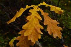As gotas molhadas do carvalho do outono do amarelo da água saem Imagens de Stock