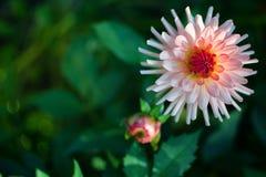 As grandes e flores bonitas da margarida crescem Fotos de Stock Royalty Free