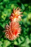 As grandes e flores bonitas da margarida crescem Foto de Stock