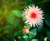 As grandes e flores bonitas da margarida crescem Imagem de Stock