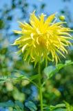 As grandes e flores bonitas da margarida crescem Imagens de Stock
