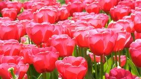 As grandes flores cor-de-rosa saturadas bonitas frescas das tulipas florescem no jardim da mola Flor decorativa da flor da tulipa filme