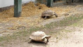 As grandes tartarugas andam na terra, no jardim zoológico vídeos de arquivo