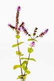 As hastes da hortelã com flores saem no fundo branco Fotos de Stock Royalty Free