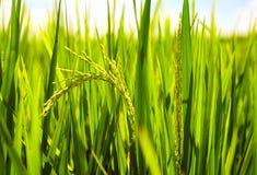 As hastes novas do arroz amadurecem sob o sol no campo de almofada Imagem de Stock Royalty Free