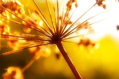 As hastes secas do outono selvagem florescem na luz solar Fotos de Stock
