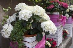 As hortênsias brancas e roxas em umas cubas de madeira enfaixadas com fitas em um banco perto do restaurante Fotografia de Stock Royalty Free