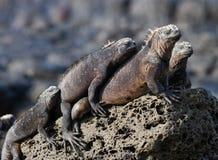 As iguanas marinhas estão sentando-se em rochas Os consoles de Galápagos Oceano Pacífico equador fotos de stock royalty free