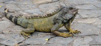 As iguanas marinhas raras que vivem apenas nas Ilhas Galápagos decidiram levantar para nós Imagem de Stock