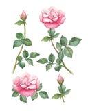 As ilustrações de uma rosa florescem Imagens de Stock