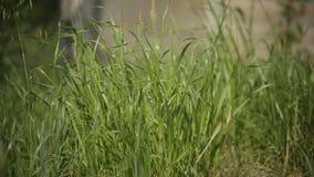 As lâminas de grama em um prado moveram-se pela brisa da mola vídeos de arquivo