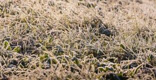 As lâminas geadas da grama no amanhecer iluminam-se do fim Foto de Stock