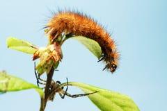 As lagartas da borboleta imagem de stock