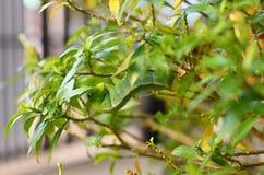 As lagartas que comem as folhas são deliciosas Fotografia de Stock Royalty Free