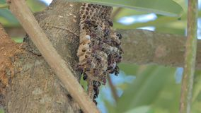 As larvas da vespa deviam ciao pela vespa dos adultos filme
