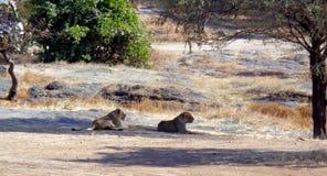 As leoas asiáticas estão descansando na floresta de Gir Fotografia de Stock