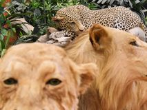 Sleeping spotted leopard among the lions royalty free stock image