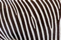 As listras da zebra real Fotografia de Stock