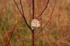 As louvas-a-deus rapinando egg o caso no ramo de árvore do salgueiro Fotografia de Stock