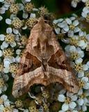 As máscaras do ângulo, meticulosa de Phlogophora Foto de Stock Royalty Free
