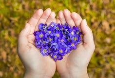As mãos colocadas que guardam as flores violetas da mola no coração dão forma Fotografia de Stock Royalty Free