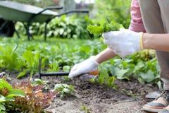 as mãos com a enxada que trabalha no jardim colocam Imagem de Stock