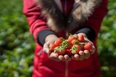 As mãos com morangos frescas recolheram no jardim imagem de stock