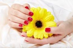 As mãos com vermelho manicured os pregos que guardam a flor amarela do Gerbera Fotos de Stock