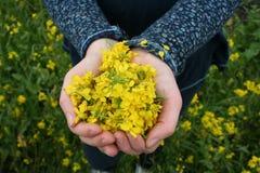 As mãos da criança completamente de flores da mostarda Fotografia de Stock Royalty Free