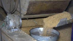 As mãos da grão e do trabalhador da peneiração da máquina tiram a aveia e derramam-na na cubeta de aço filme