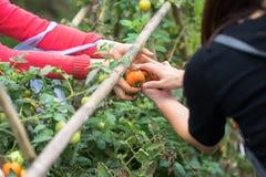 As mãos da mulher mantêm a doação fresca dos tomates e as outras mãos que recebem no campo cultivado imagem de stock