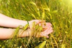 As mãos da mulher que guardam as orelhas do trigo Imagens de Stock