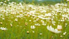 As mãos da mulher recolhem flores da camomila Foco macio Camomila de florescência no prado verde da mola que balança no vento filme