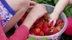 As mãos das crianças classificam para fora morangos vermelhas na cubeta no jardim filme