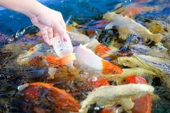 As mãos das mulheres estão alimentando peixes Fotos de Stock Royalty Free