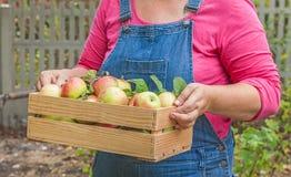 As mãos das mulheres que guardam uma caixa das maçãs Imagem de Stock Royalty Free