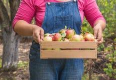 As mãos das mulheres que guardam uma caixa das maçãs Fotografia de Stock