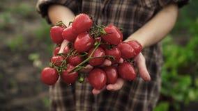 As mãos das mulheres realizam nas palmas de tomates de cereja maduros com gotas da água na exploração agrícola na luz do por do s vídeos de arquivo