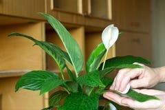 As mãos de Femal friccionam as folhas da flor fotos de stock