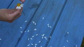 As mãos do adolescente rasgam fora as pétalas da flor da margarida Jogo romântico do jogo da menina 4K video estoque