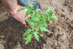 As mãos do ancião estão plantando a plântula do tomate no solo Conceito da jardinagem e da agricultura imagens de stock