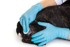 As mãos do doutor tratam a ferida do cão Fotografia de Stock