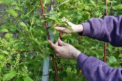 As mãos do fazendeiro amarram com cuidado acima ramos da amora-preta Fotografia de Stock Royalty Free